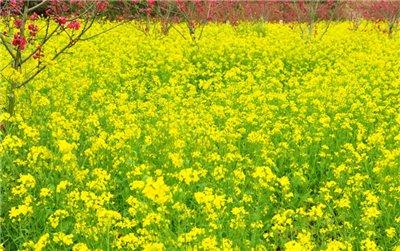 厦门到<长泰山重山一日游>踏青—看百亩油菜花 最适合春游地方
