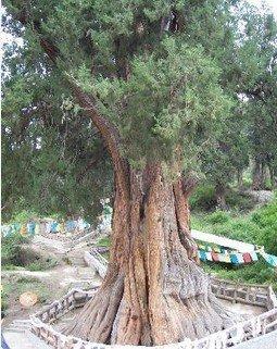 林芝巴结巨柏自然保护区