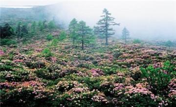 白马雪山高山杜鹃林