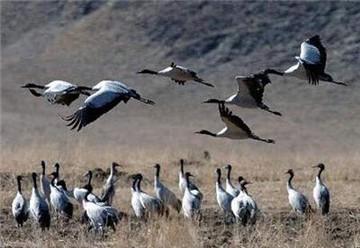 黑颈鹤自然保护区旅游简介